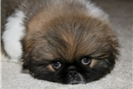 Picture of AKC Male Pekingese