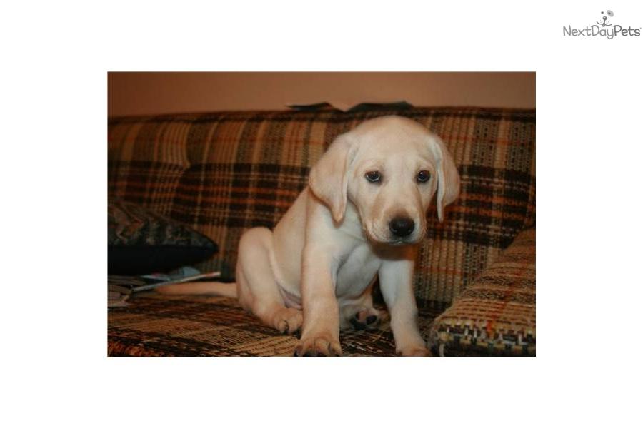 Labrador puppies for sale in sacramento ca