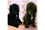Picture of Sweet Female CKC Labradoodle Puppies