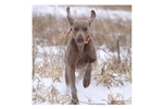 Featured Breeder of Weimaraners with Puppies For Sale