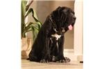Neapolitan Mastiff for sale