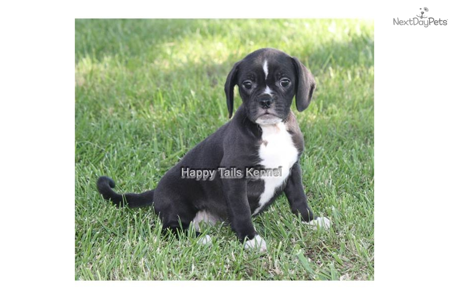 Puggle puppy for sale near Springfield, Missouri ...