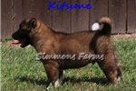 Picture of AKC Kitsune-Super Playful Akita Male Puppy!
