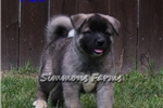 Picture of AKC Kin-Beautiful Male Akita Puppy!