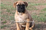 Picture of AKC Ella-Big, Stocky Bullmastiff Female Pup!