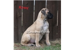 Picture of AKC Roxy-Big, Broad Bullmastiff Female Pup!