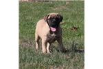 Picture of AKC Xena-Gorgeous, Big Female Bullmastiff Pup!