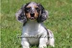 Picture of Rex-Beautiful Silver Dapple Piebald Male Puppy!!