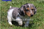 Picture of Ralphy-GORGEOUS Silver Dapple Piebald Male Puppy!!