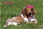 Picture of Danika-Gorgeous, Friendly Female Puppy!