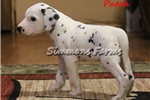 Picture of AKC Patch-Beautiful Male Dalmatian Puppy!