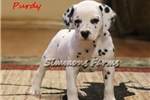 Picture of AKC Purdy-Gorgeous Female Dalmatian Puppy!
