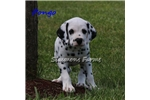 Picture of AKC Pongo-Beautiful Male Dalmatian Puppy!