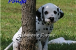 AKC Pongo-Beautiful Male Dalmatian Puppy! | Puppy at 9 weeks of age for sale