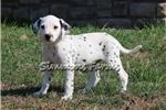 Picture of AKC Pongo-Gorgeous Male Dalmatian Puppy!