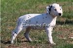 Picture of AKC Dottie-Beautiful Female Dalmatian Puppy!