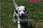 Picture of AKC Penny-Gorgeous Female Dalmatian Puppy!