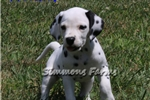 Picture of AKC Freckles-Adorable, Friendly Dalmatian Male Pup