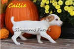 Picture of Callie-Beautiful Female Jack Russell Terrier Puppy