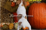 Picture of Sophie-Adorable Jack Russell Female Puppy!