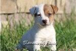 Picture of Milly-Adorable Female Jack Russell Puppy!