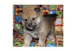Picture of a Shiba Inu Puppy