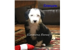 Picture of AKC Samson- Stunning Male Sheepdog Puppy!