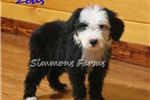 Picture of AKC Zeus-Beautiful Male Sheepdog Puppy!