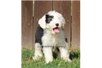 Picture of AKC Bailey-Very Friendly Female Sheepdog Puppy!