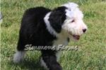 Picture of AKC Kaci-Gorgeous Female Sheepdog Puppy!