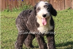 Picture of AKC Dallas-Big, Beautiful Male Sheepdog Pup!