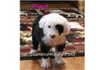 Picture of AKC Dixie-Beautiful Female Sheepdog Puppy!