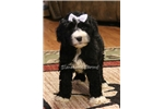 Picture of Carson-Stunning Male Sheepadoodle Puppy!!