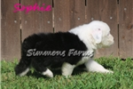 Picture of AKC Sophie-Beautiful BLUE EYE Female Sheepdog Pup!