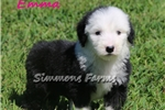 Picture of AKC Emma-Super Playful Female Sheepdog Puppy!