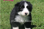 Picture of AKC Daisy-Very Friendly Female Sheepdog Puppy!