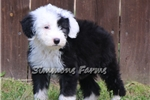 Picture of AKC Starla-Stunning Female Sheepdog Puppy!