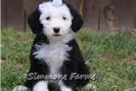 Picture of AKC Ellie-Adorable Female Sheepdog Puppy!