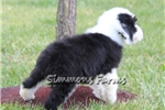 Picture of AKC Max-Adorable Male Sheepdog Puppy!