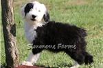Picture of AKC Samson-Stunning Male Sheepdog Puppy!