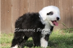 Picture of AKC Oscar-Stunning Male Sheepdog Puppy!