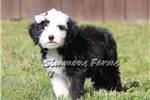Picture of AKC Chloe-Beautiful Female Sheepdog Puppy!