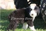 Picture of AKC Duke-Nice Big Male Sheepdog Puppy!