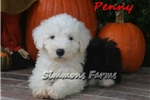 Picture of AKC Penny-Beautiful Female Sheepdog Puppy!