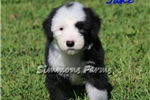 Picture of AKC Jake-Gorgeous Male Sheepdog Puppy!