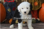 Picture of AKC Dixie-Gorgeous, Spunky Female Sheepdog Pup!