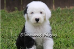 Picture of AKC Max-STUNNING DOUBLE BLUE EYED MALE PUP!