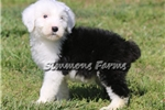 Picture of AKC Penny-Full White Head Female Sheepdog Puppy!