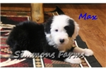 Picture of AKC Max-Beautiful Sheepdog Puppy!