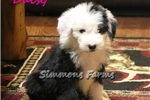 Picture of AKC Daisy-Gorgeous Female Sheepdog Puppy!